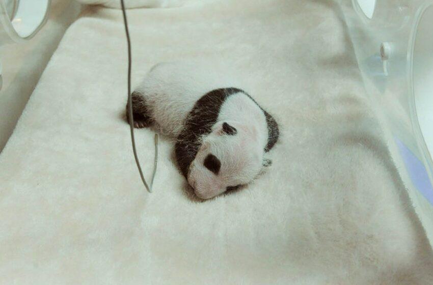 Pandanpoikaset suojatuvat hyttysiltä tuulettimien avulla