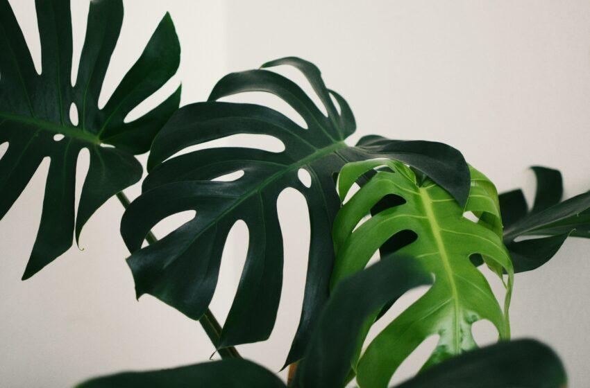 Vältä sudenkuopat – 5 vinkkiä viherkasvien keväthuoltoon